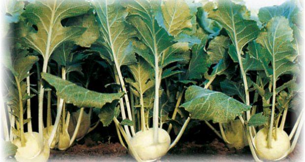 насіння кульрабі купити