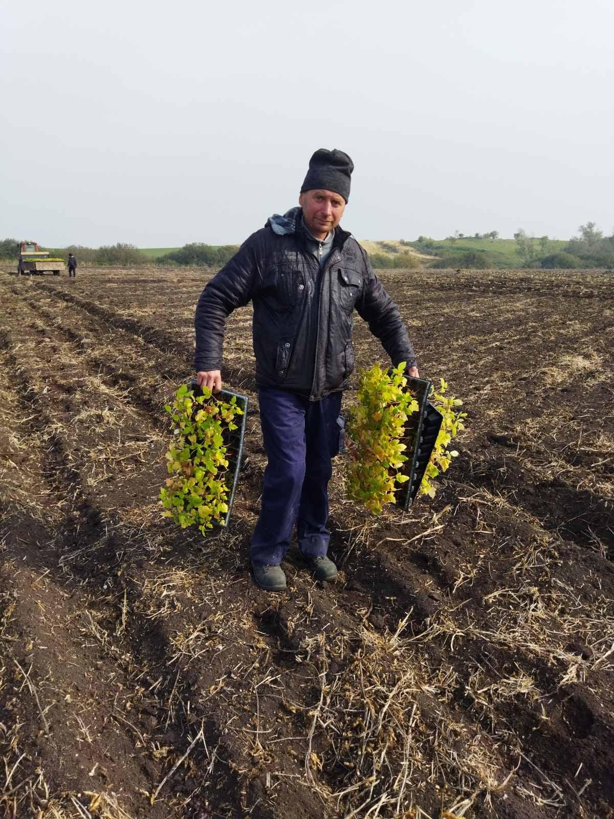 на посадці малини у Тартакові